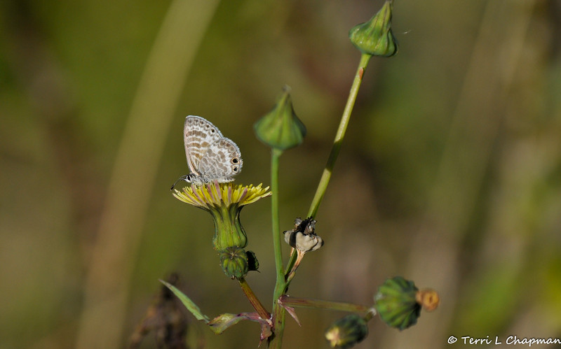 A Marine Blue Butterfly sipping nectar from a Dandelion bloom. While many people feel Dandelions are stubborn weeds, I like them in my garden because the butterflies and ladybugs love them!