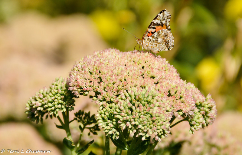 A Painted Lady Butterfly sipping nectar from a Sedum plant