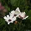 A Checkered White Butterfly sipping nectar from an Osteospermum Daisy
