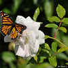 "On February 3, 2015, which was 20 days after the caterpillar formed a chrysalis in my garden, a female Monarch Butterfly emerged around 1:00 pm. In this photograph, the Monarch is flapping her wings for the first time on this ""iceberg"" floribunda rose."