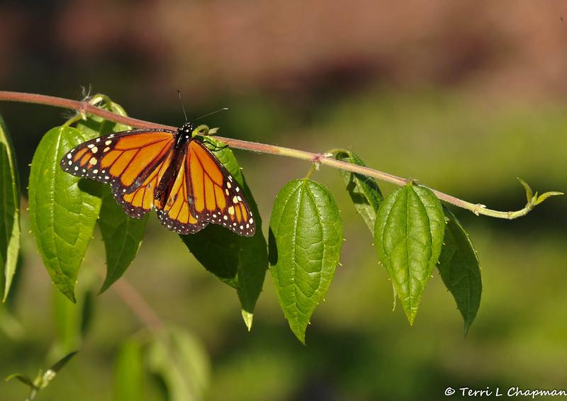 A male Monarch butterfly