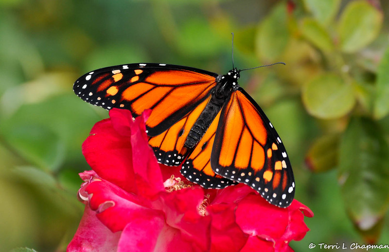 A beautiful male Monarch Butterfly drying his wings on a rose. This Monarch was born in my garden on May 5, 2015.