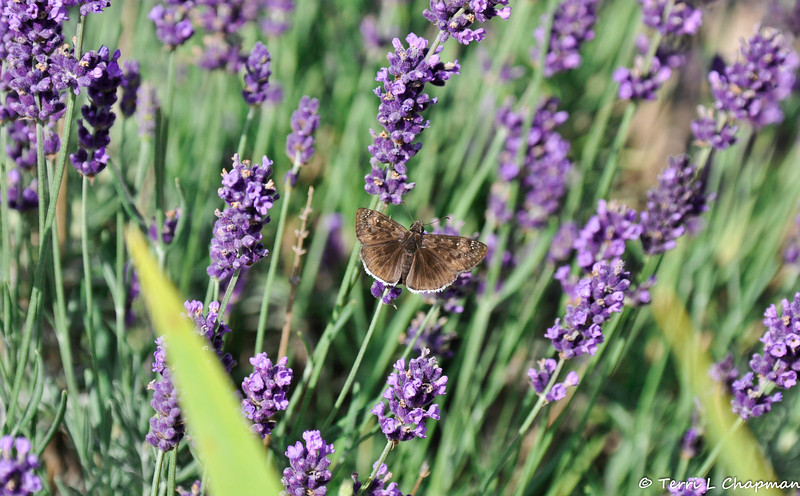 A Funereal Duskywing Butterfly with Lavendar