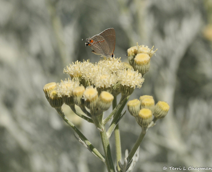 A Gray Hairstreak Butterfly