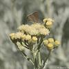 A Gray Hairstreak Butterfly