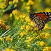A female Monarch Butterfly