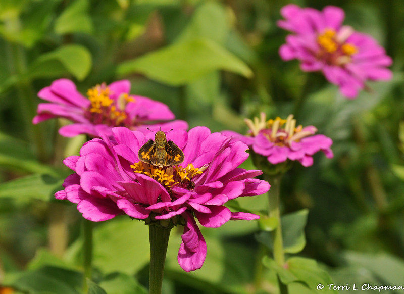 An Umber Skipper Butterfly sipping nectar from a Zinnia bloom.