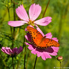 A Gulf Fritillary Butterfly resting on a Cosmos flower