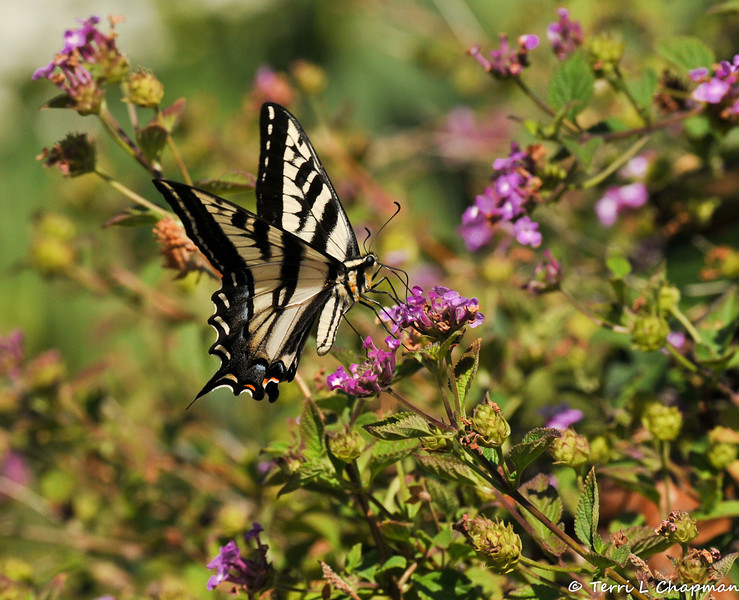 A Pale Swallowtail sipping nectar from a Lantana bloom.