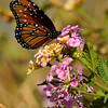 A Queen Butterfly sipping nectar from a Lantana bloom