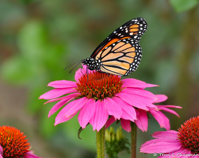 A male Monarch butterfly sipping nectar from a Coneflower