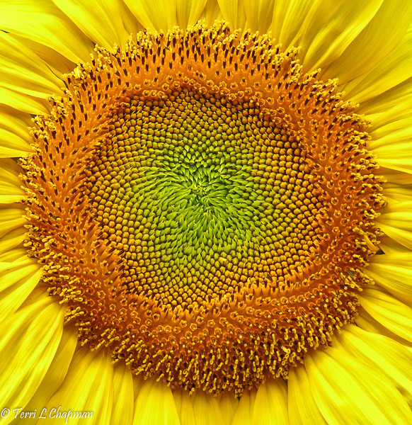 A Sunflower center