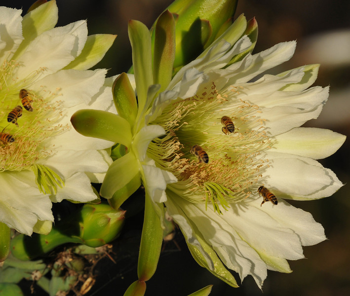 Honey Bees pollinating a cactus bloom in my backyard