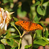A Gulf Fritillary sunning its wings on the tip of a rose bud
