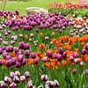 2014 Spring Tulip display at Descanso Gardens in La Canada, CA.