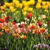 2017 Tulip display at Descanso Gardens