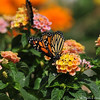A beautiful female Monarch Butterfly, sipping nectar from Lantana blooms, before she takes her first flight. This Monarch was born in my garden on May 8, 2015, but the weather was cold that day, so she stayed safe in her mesh castle until the weather warmed up and then she was released.