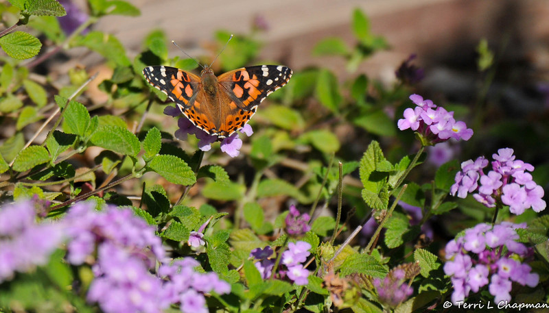 A Painted Lady Butterfly resting on a Lantana plant