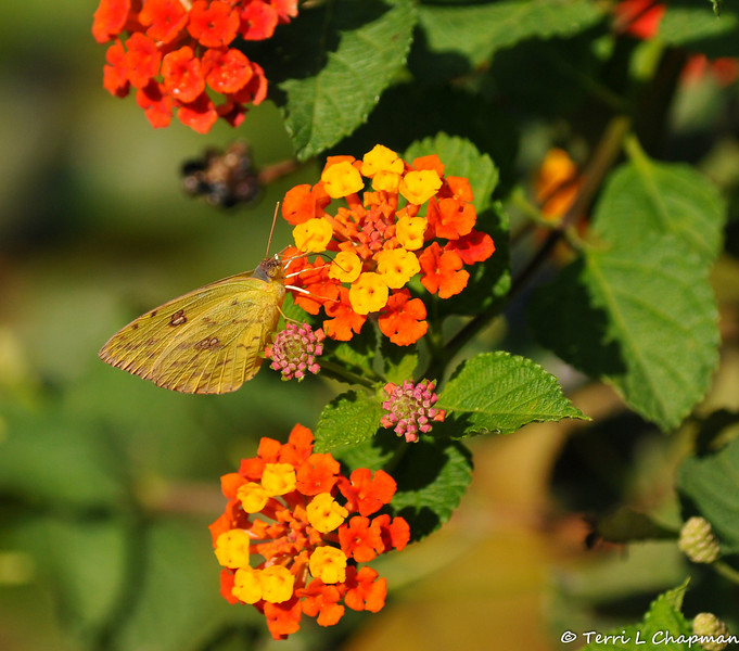 A Cloudless Sulphur butterfly sipping nectar from a Lantana bloom