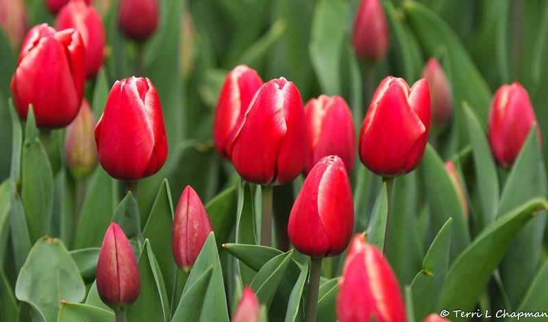 2019 blooming Tulips at Descanso Gardens in La Canada, CA.