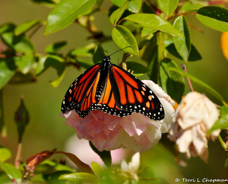 A female Monarch Butterfly resting and stretching her wings on an Iceberg rose