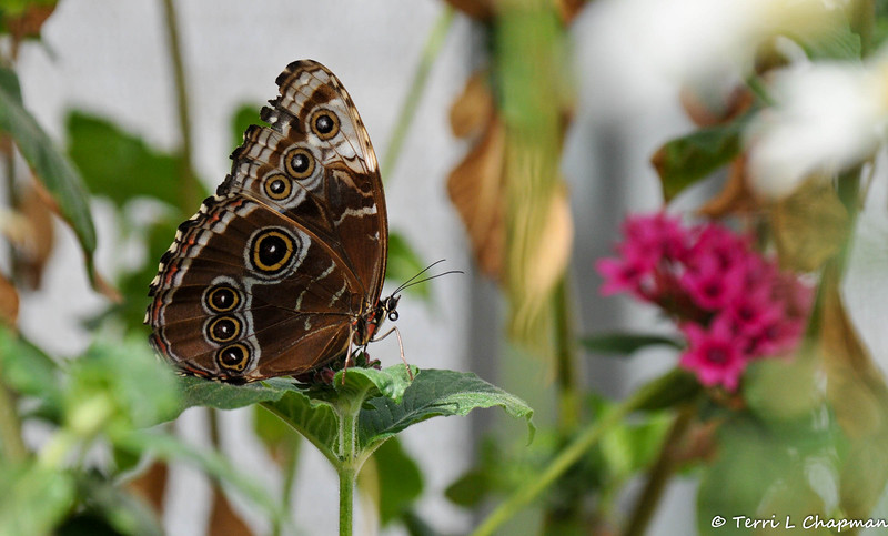A Blue Morphio Butterfly