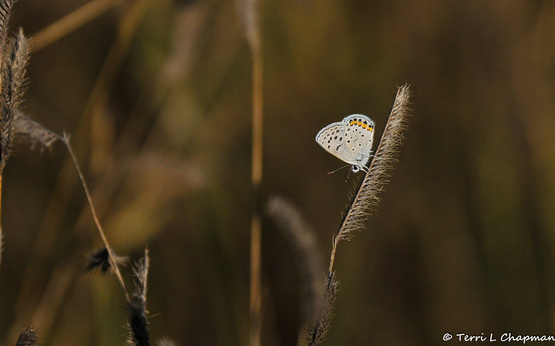 An Acmon Blue Butterfly on native grass