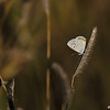 An Acmon Blue Butterfly on native grass