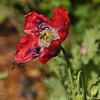 Honey Bees pollinating a Poppy