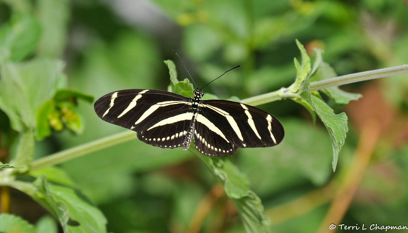 A Hewitson's Heliconian Butterfly