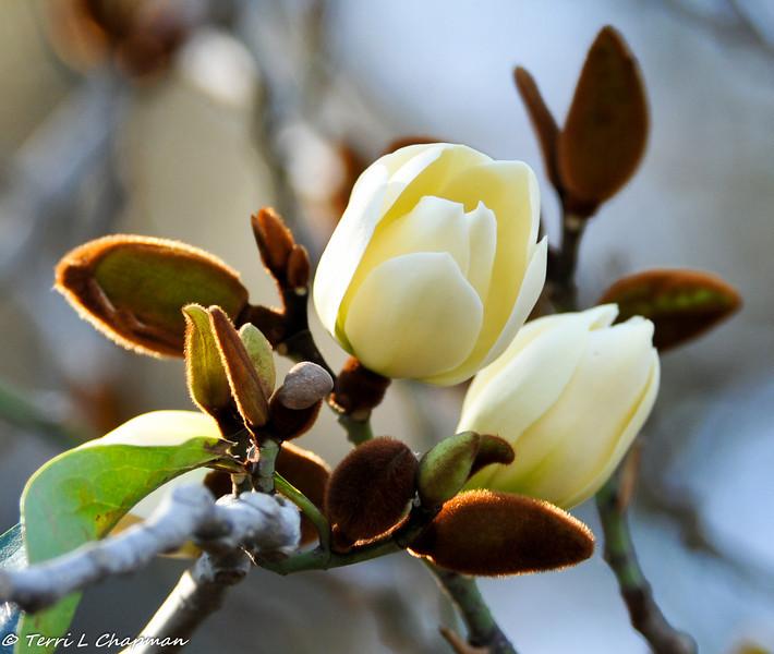 Allspice Magnolia