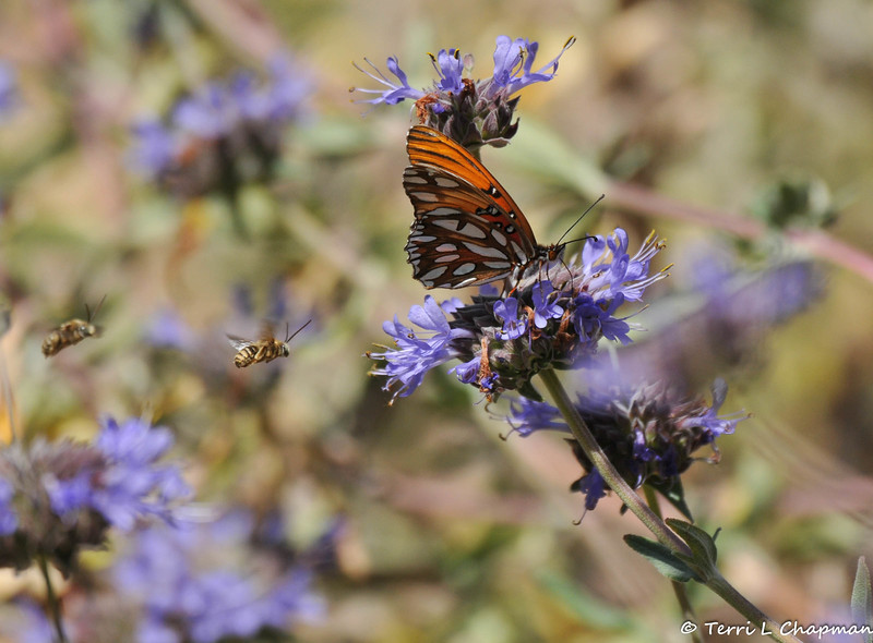 A Gulf Fritillary Butterfly sipping nectar from a sage bloom with honey bees flying nearby