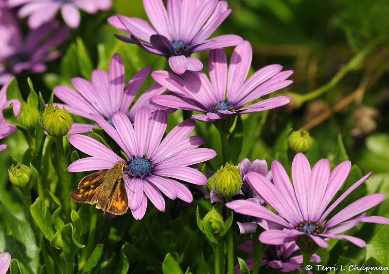 A Fiery Skipper Butterfly sipping nectar from an Osteospermum Daisy