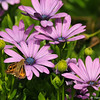 A Fiery Skipper Butterfly sipping nectar from an Osteospermum Daisy