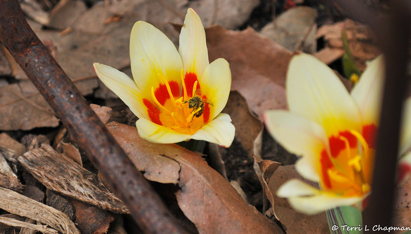 A Honey Bee gathering pollen from a Tulip blooming at Descanso Gardens