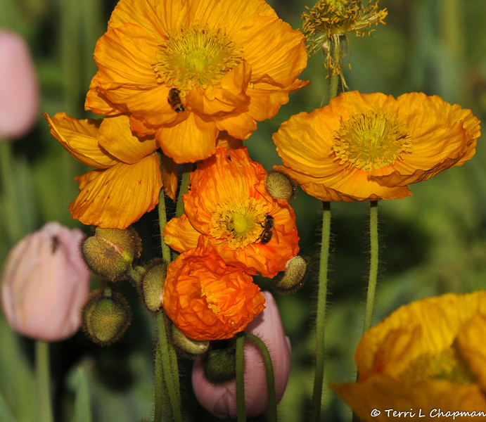 Iceland Poppies and Honey Bees