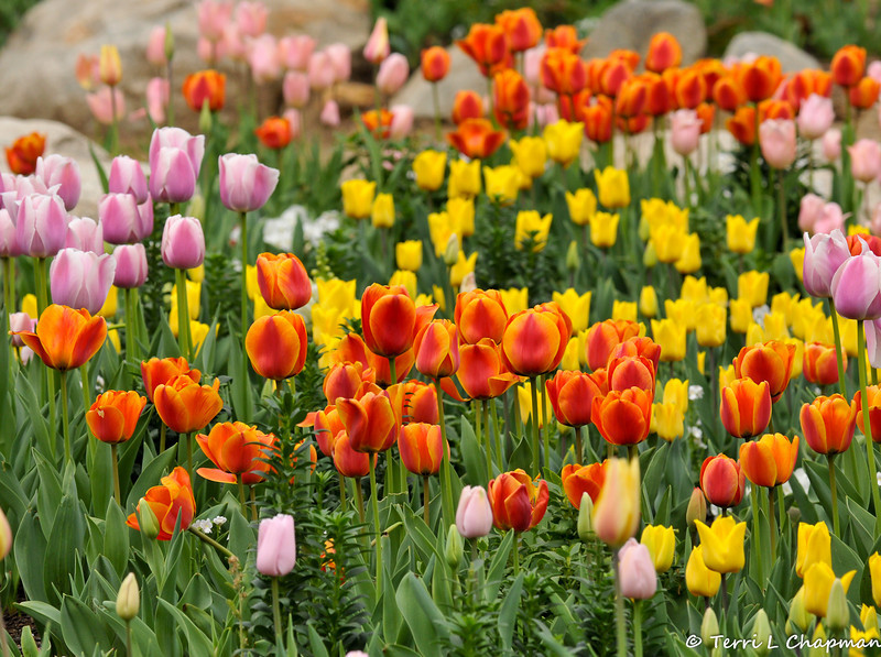 2014 Spring Tulip display at Descanso Gardens in La Canada, CA.