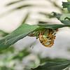 A Malachite Butterfly