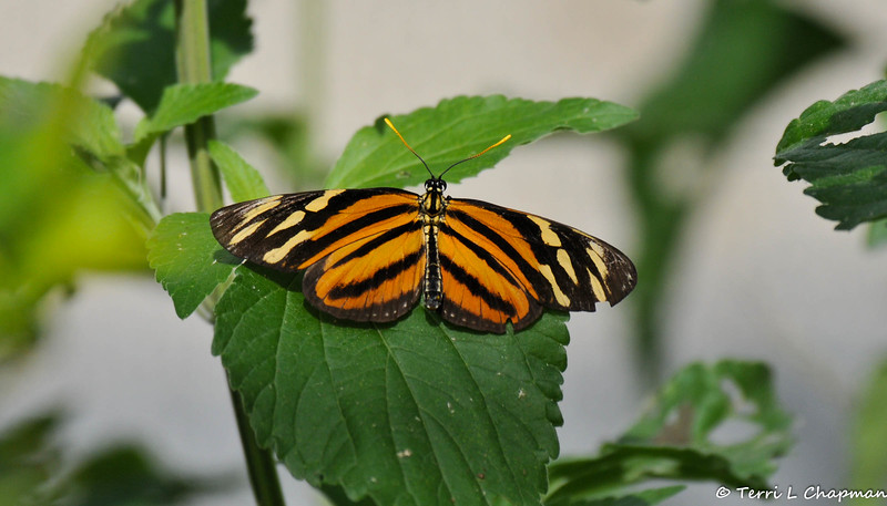 A Isabella's Heliconian Butterfly