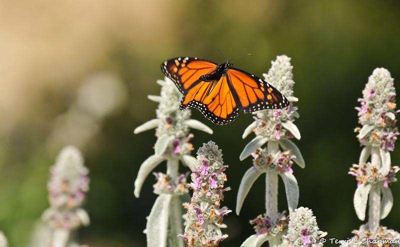 A male Monarch butterfly in flight