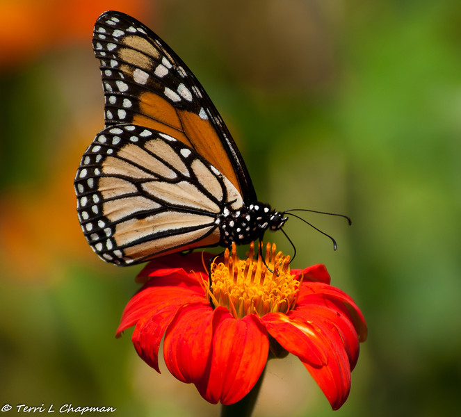 A male Monarch Butterfly sipping nectar from a Mexican Sunflower. This photograph was a finalist in the Birds & Blooms magazine photography contest for December 2013.