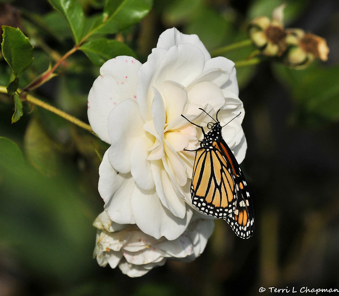 "On February 3, 2015, which was 20 days after the caterpillar formed a chrysalis in my garden, a female Monarch Butterfly emerged around 1:00 pm. She chose an ""Iceberg""  floribunda rose  to rest on and dry her wings."