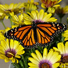 A female Monarch Butterfly  born and released into my garden on April 8, 2016