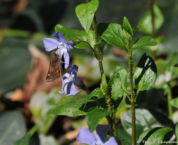 An Umber Skipper Butterfly sipping nectar from a Vinca bloom