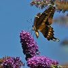 A Giant Tiger Swallowtail on a Butterfly bush