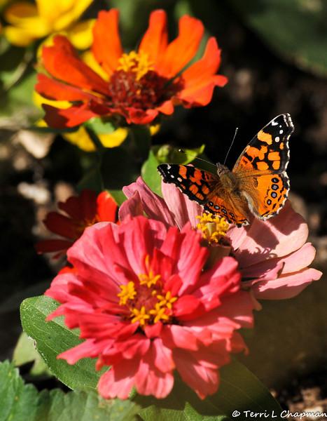 A West Coast Lady Butterfly on Zinnia flowers