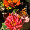 A West Coast Lady Butterfly on Zinnia flowers