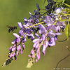 A Carpenter Bee with Wisteria