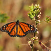 A male Monarch Butterfly resting on Cheeseweed