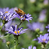 A Fiery Skipper sipping nectar from an Aster bloom